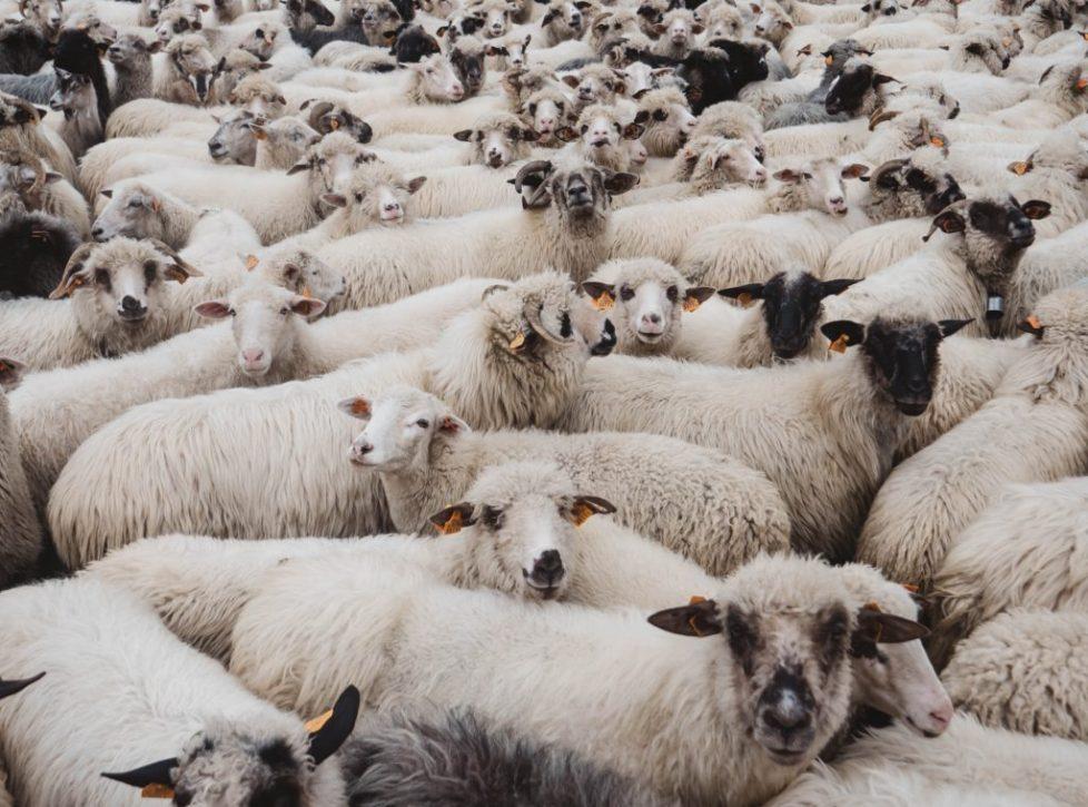 Sheepforblog